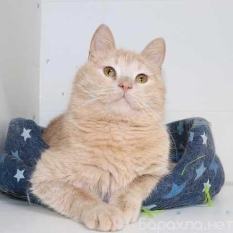 Отдам даром: Ищет дом персиковый красавец кот Джек