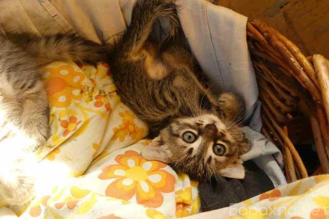 Отдам даром: Котята помесные британцы