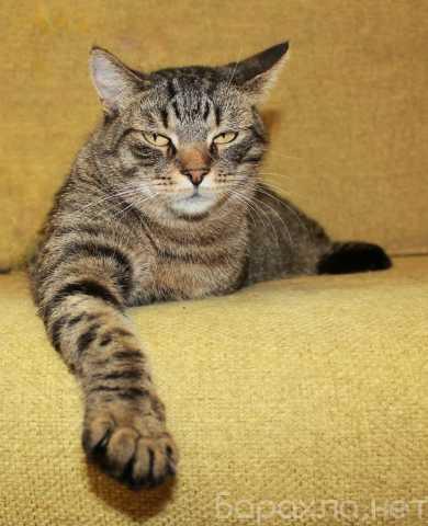Отдам даром: Тигран Потапыч, настоящий полосатый кот