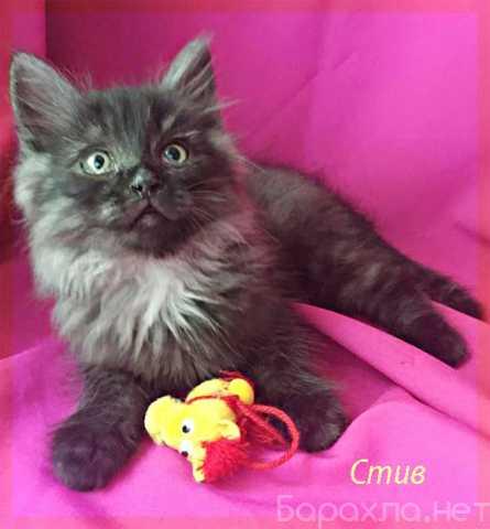 Отдам даром: Шикарный котенок Стив в надежные руки