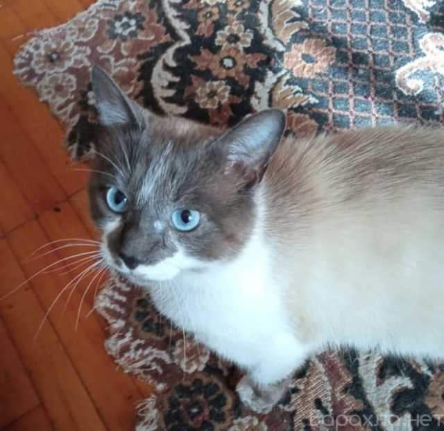 Отдам даром: Очаровательный голубоглазый котик