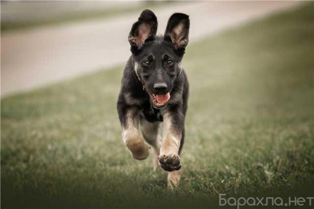 Отдам даром: Пристраивается в надежные руки щенок Нор
