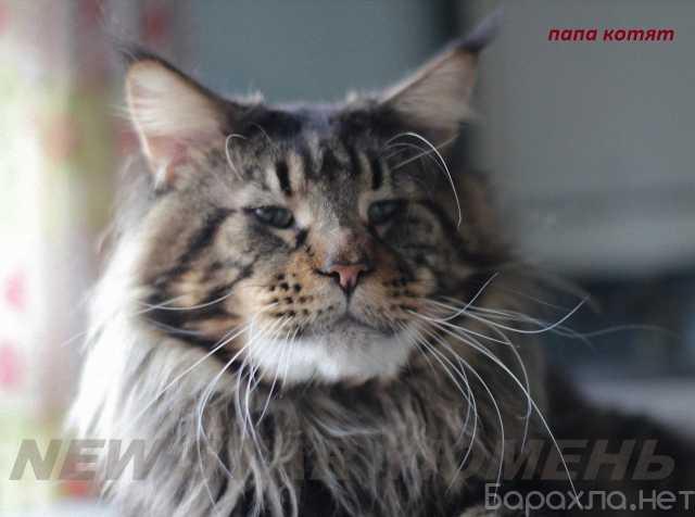Продам: великолепные котята породы мейн кун