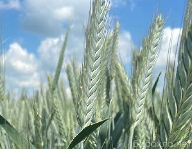 Продам: Семена тритикале озимой Тихон, Хлебороб