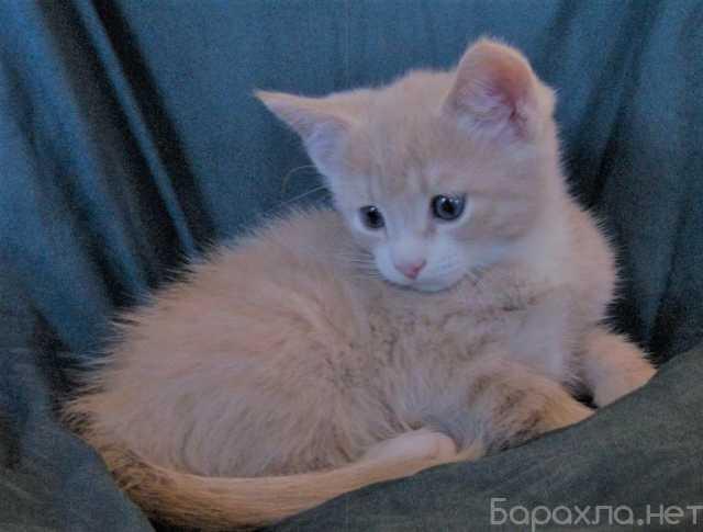 Отдам даром: котят персикого окраса