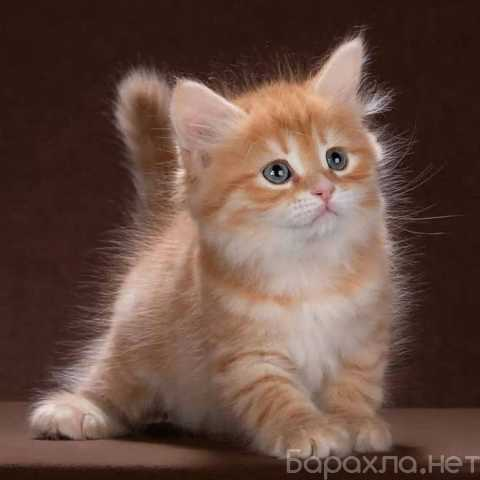 Продам: Котенок Сибирской Породы Кошек