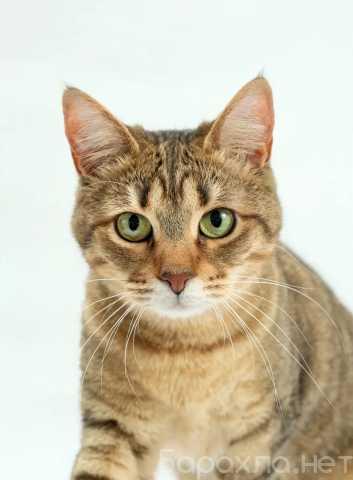 Отдам даром: Мисс конгениальность, кошка Мира в дар