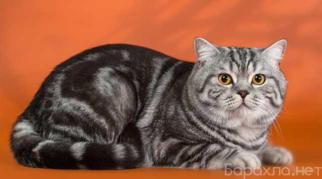Отдам даром: шикарный кот Тима и великолепная Кира