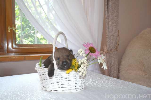 Продам: Щенки чехословацкой волчьей собаки