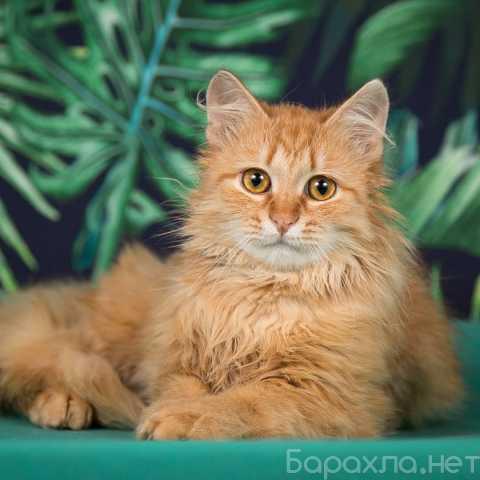 Отдам даром: Скромный, ласковый котик Арчи ищет свое