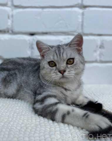 Продам: Британские короткошерстные котята