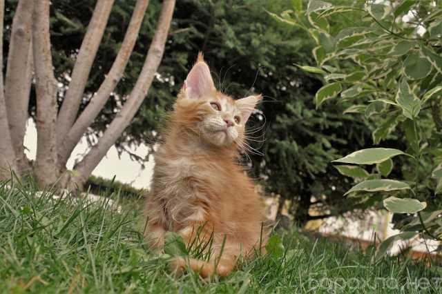 Продам: Красивого котика мейн-куна, 2 мес