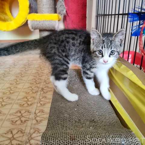 Отдам даром: Очаровательный котенок Сёма в дар