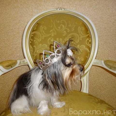 Отдам даром: собачку бивер йорк