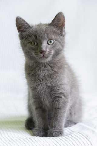 Отдам даром: Русский голубой котенок Стёпа в дар