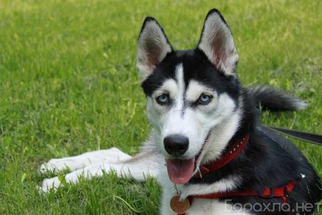 Отдам даром: Красотка собака Юта в добрые руки