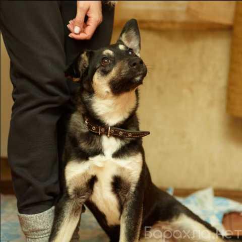 Отдам даром: Красавица-метис собака Молли в добрые ру