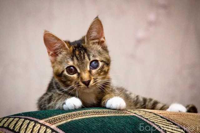 Отдам даром: Необычный котенок Стеша ищет дом