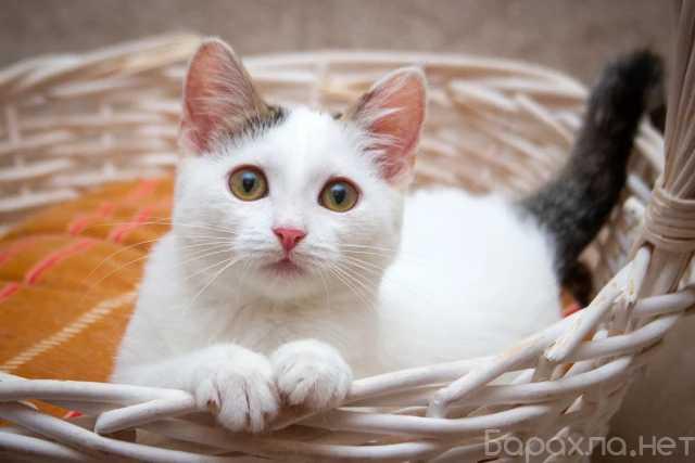 Отдам даром: Искристая котенок Белочка в дар