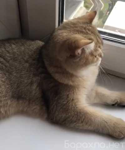 Продам: Британский котенок