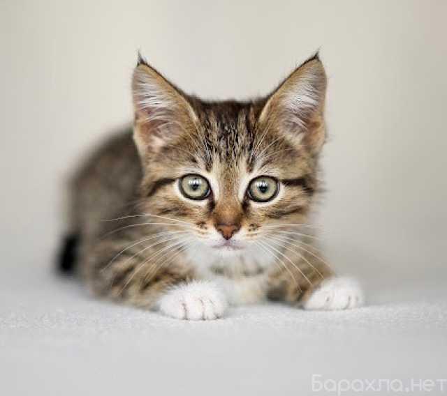 Отдам даром: Котенок Веста - трогательный ребенок в д