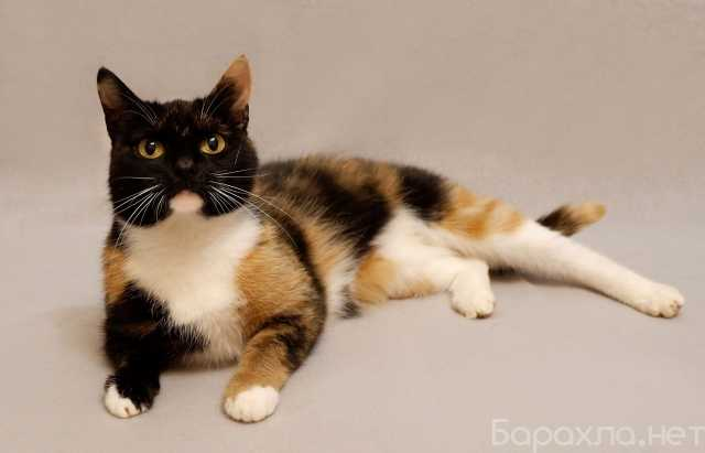 Отдам даром: Молодая трехцветная кошечка Ульяна