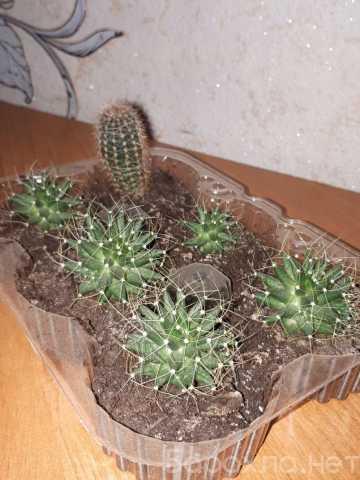 Продам: Детки кактусов