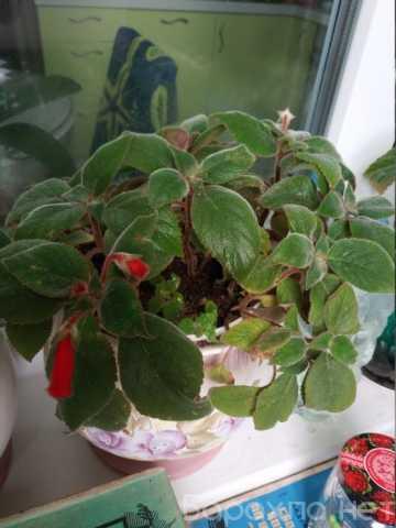 Продам: Комнатное растение * бархатистые листья