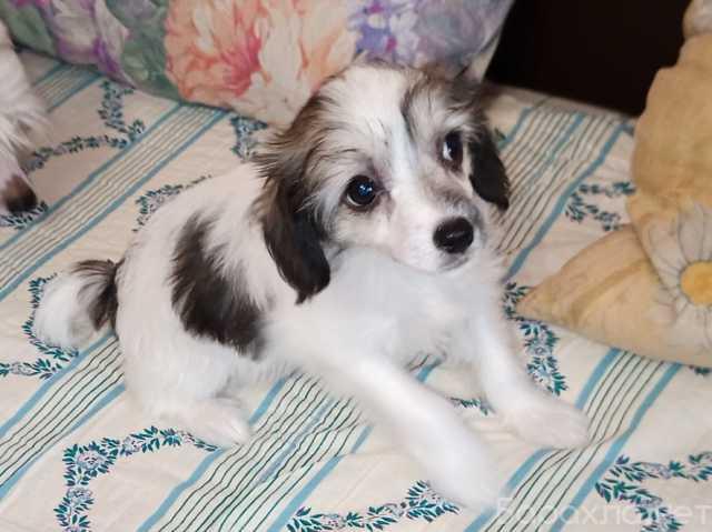 Продам: Китайская хохлатая щенки