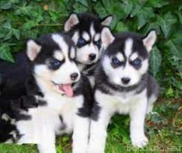 Продам: щенков сибирского хаски на усыновление