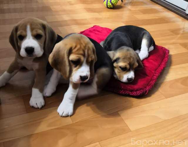 Продам: Бигль щенки