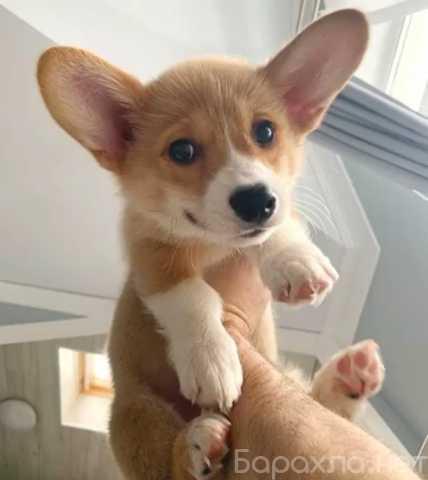 Отдам даром: Домашние щенки корги для хороших домов