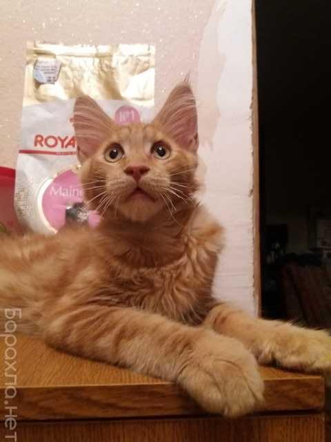 Продам: Котята породы мейн кун