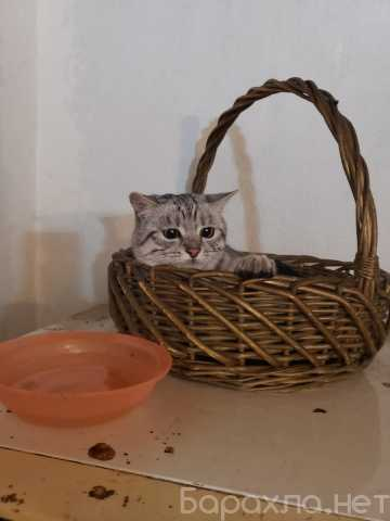 Отдам даром: Котик 1 годик шотландец