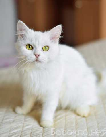 Отдам даром: Диана- белоснежная красавица