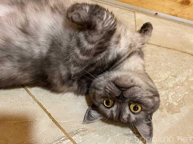 Продам: Британская кошка в добрые руки