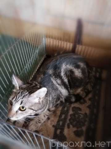 Отдам даром: Метис бенгальской породы — мраморный кот