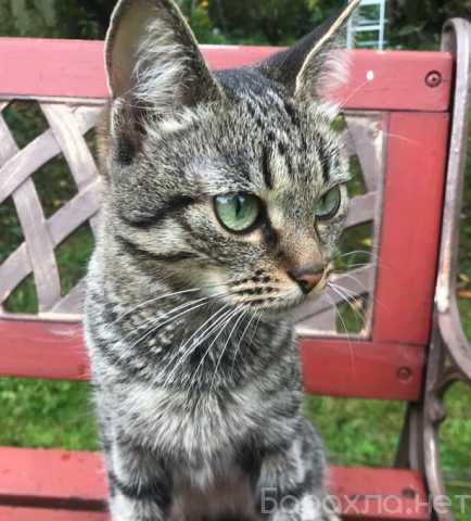Отдам даром: Зеленоглазый полосатый котенок Ода в дар