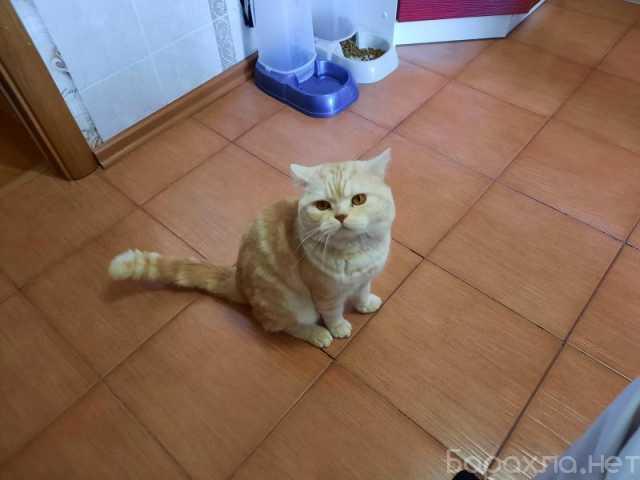 Отдам даром: Срочно ОТДАМ кота, помесь шотландца с бр