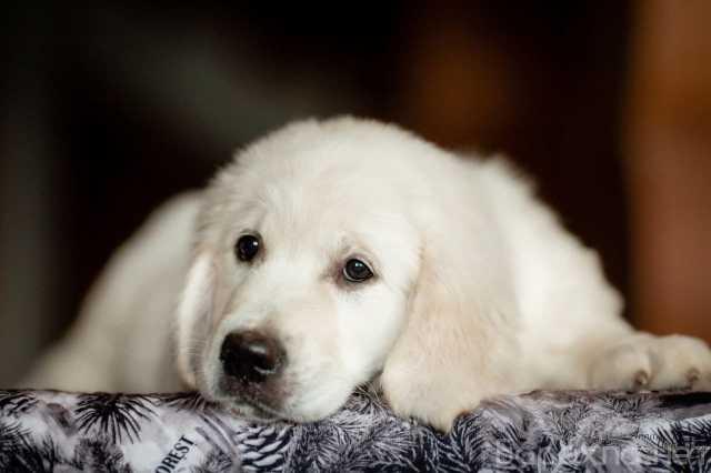 Продам: Золотистый ретривер щенки