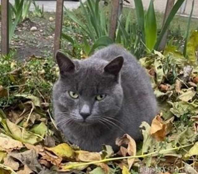 Отдам даром: Ласковый дымчатый котик ищет дом