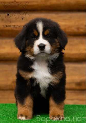 Продам: Алиментный щенок бернского зеннехунда