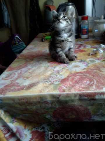Отдам даром: Усатый- полосатый котик, 1 месяц