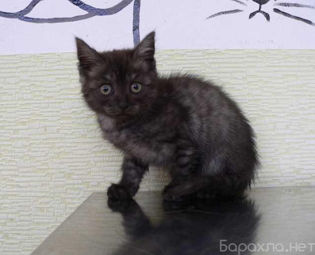 Отдам даром: Котенок Шанель с уникальным окрасом ищет