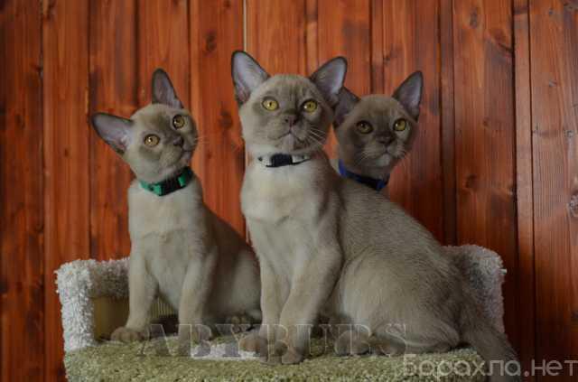 Продам: Бурманские котята