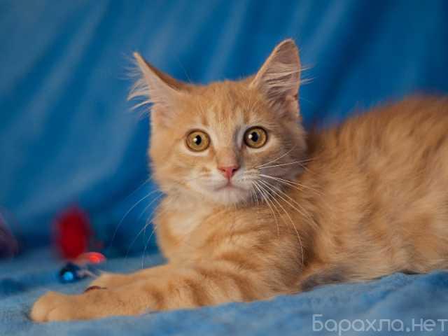 Отдам даром: Очаровательный рыжий котенок рыжик в дар