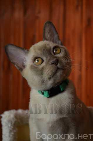 Продам: Бурманский котик